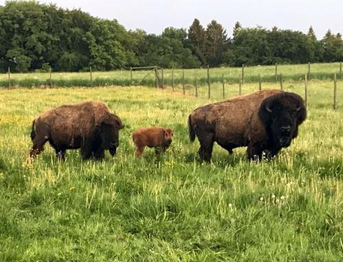 Bison mit Nachwuchs